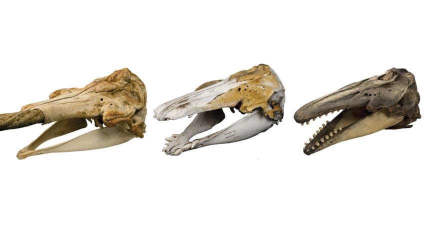 beluga, hybrid and narwhal skulls