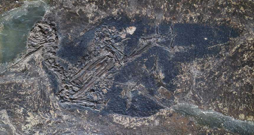 Eocoracias brachyptera bird fossil