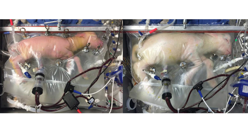 two photos of fetal lambs in artificial wombs