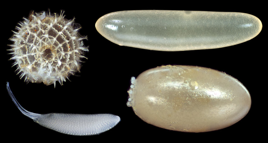 insect egg shapes
