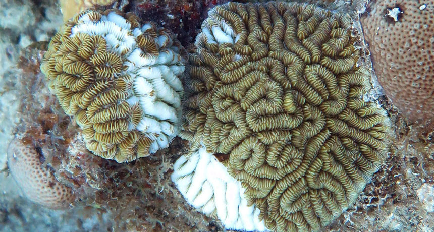 maze corals with lesions