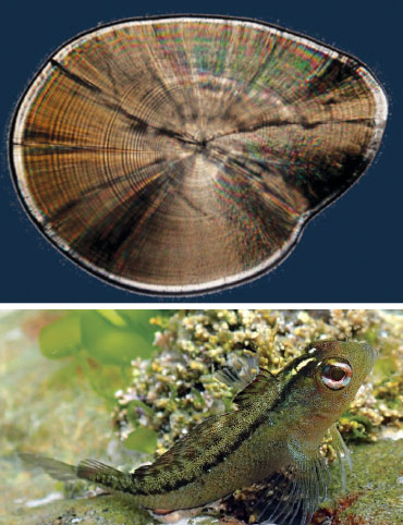 common triplefin fish