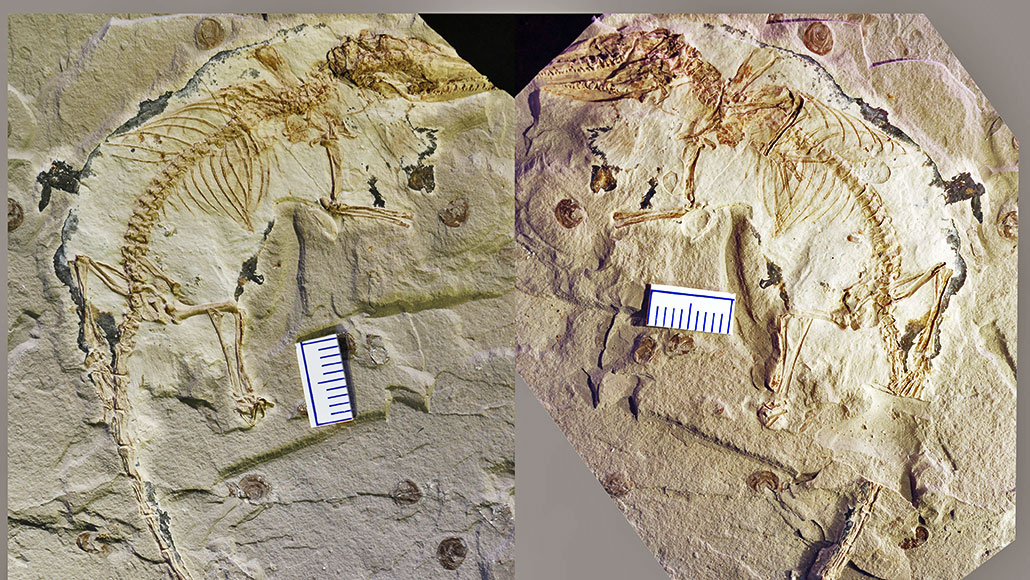 Microdocodon gracilis fossil