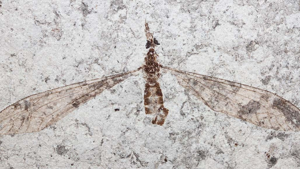 Fly fossils might challenge the idea of trilobites' crystal