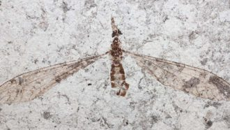 crane fly fossil