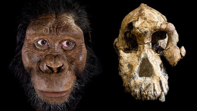 hominid skull reconstruction