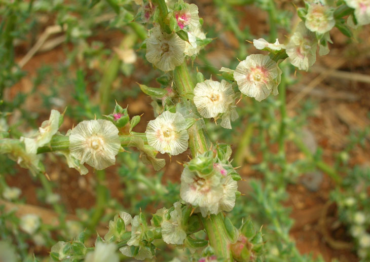 tumbleweed flowers