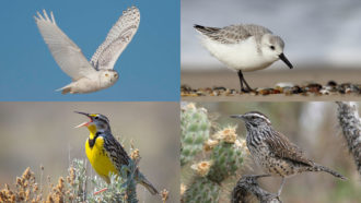 snowy owls, sanderlings, cactus wrens and Western meadowlarks