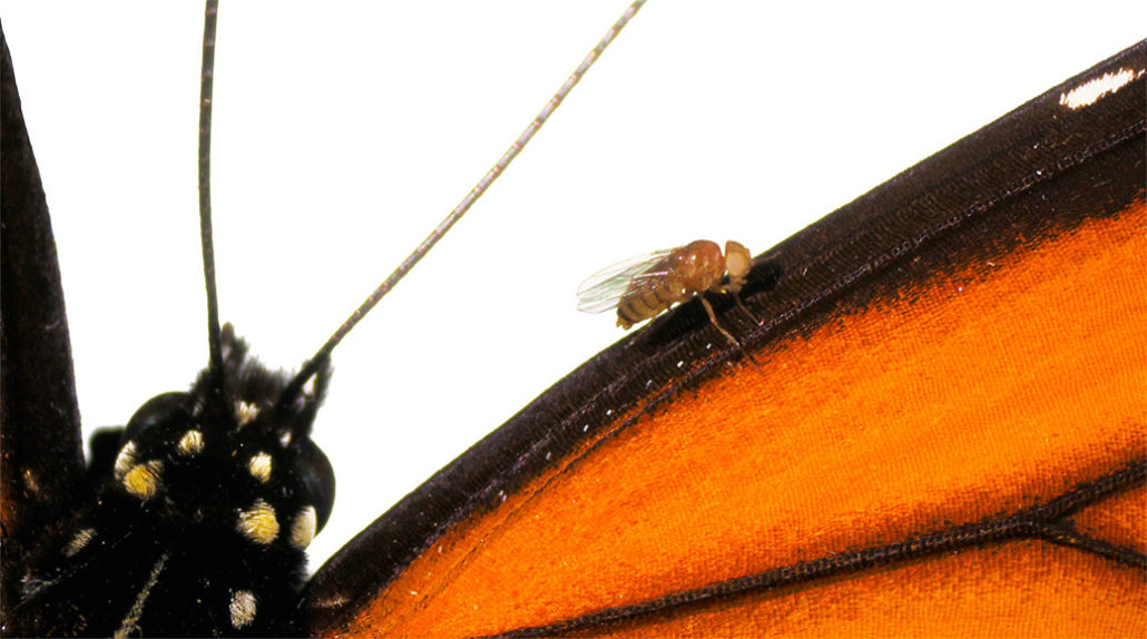 monarch butterfly and fruit fly