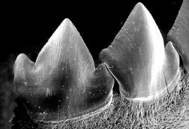 SEM image of piranha teeth