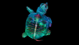 turtle embryo