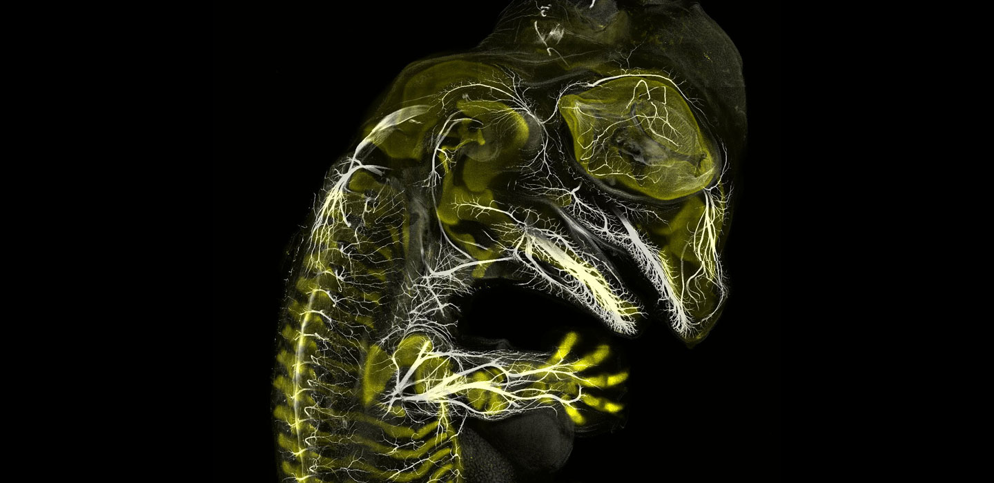 American alligator embryo