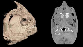 Piranha skull scan