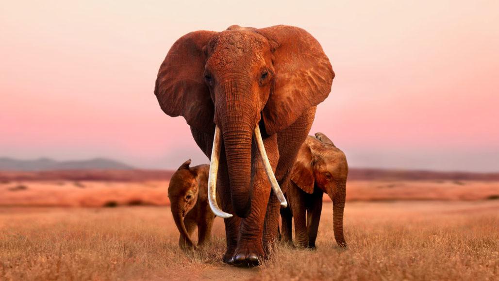 Athena the elephant