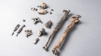 ancient ape bones