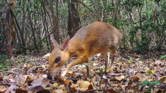 silver-backed chevrotain
