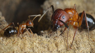 Flipping a molecular switch can turn warrior ants into foragers