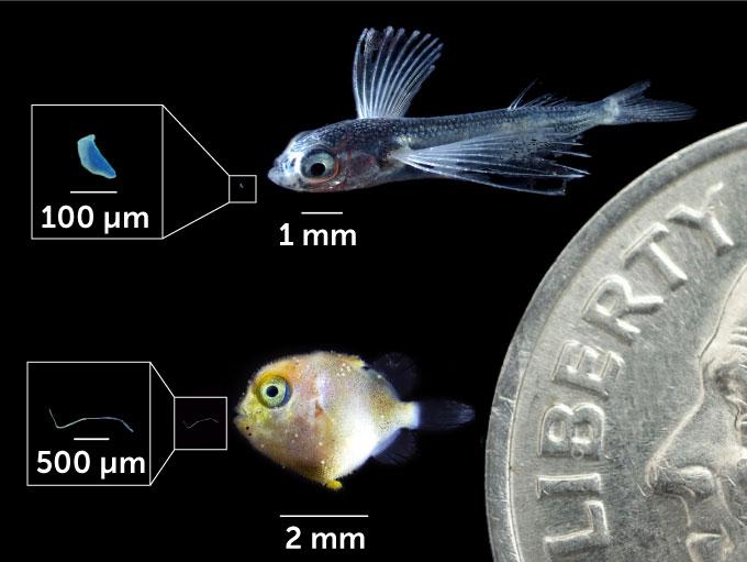 larval fish