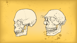 Illustration of a modern human skull and a Neandertal skull