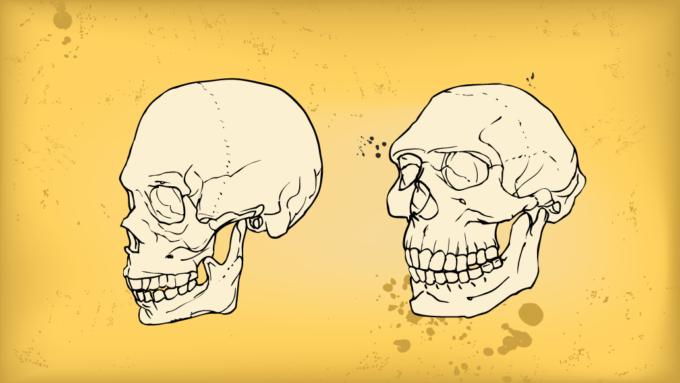 Illustration of a modern human skull and a Neandertal skull