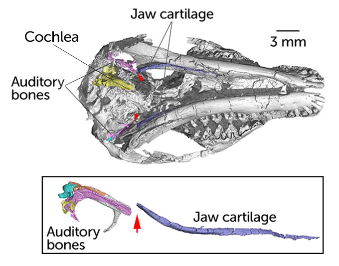 skull diagram of Origolestes lii