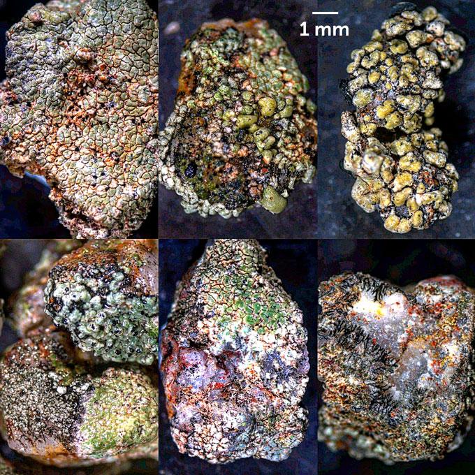 grit crust lichens