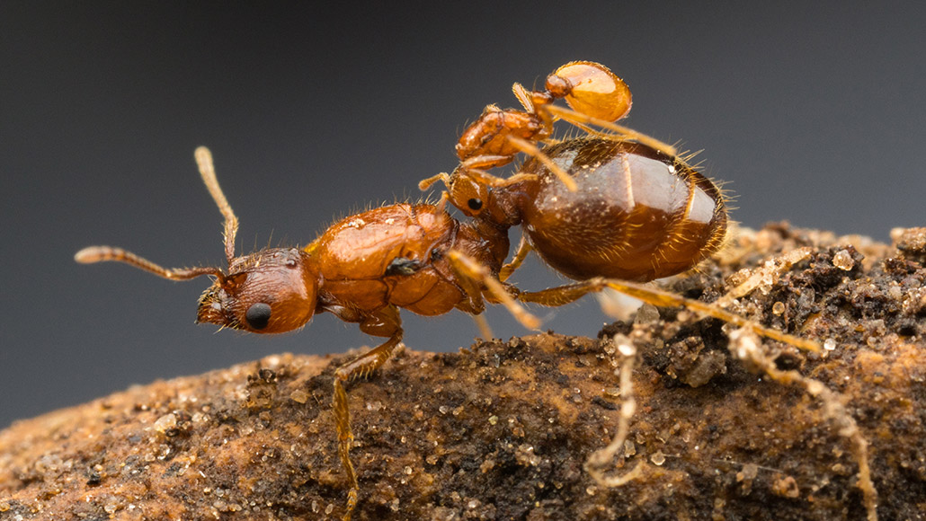Texas Has Its Own Rodeo Ant Queens Science News