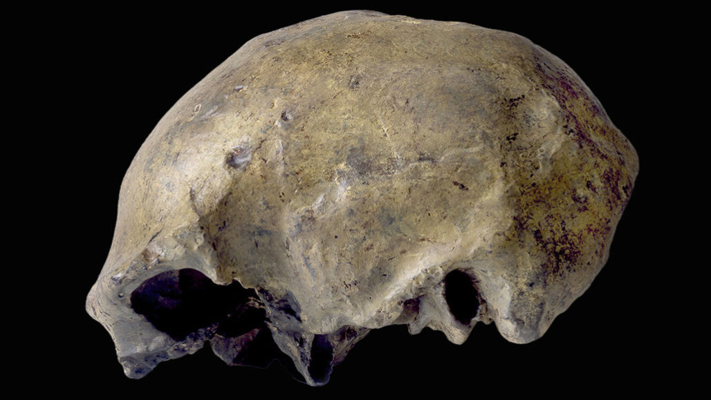 Homo erectus skullcap