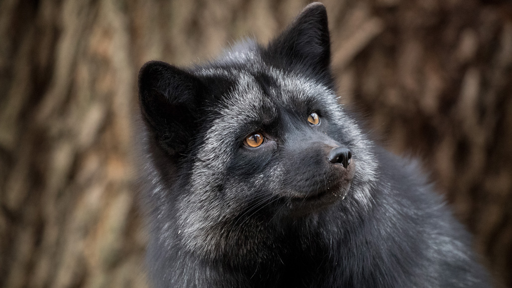 Foxes Bred For Tameness May Not Be The Domestication Story We Thought Science News