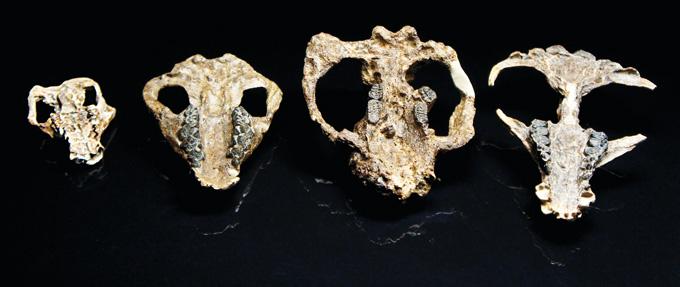 Post-dinosaur mammal skulls, HHMI Tangled Bank Studios