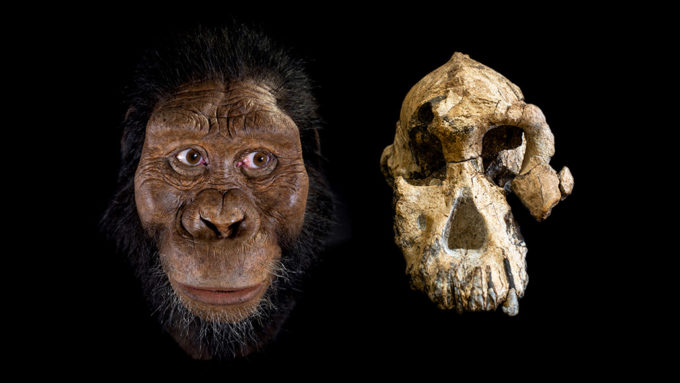 Australopithecus anamensis reconstruction and skull