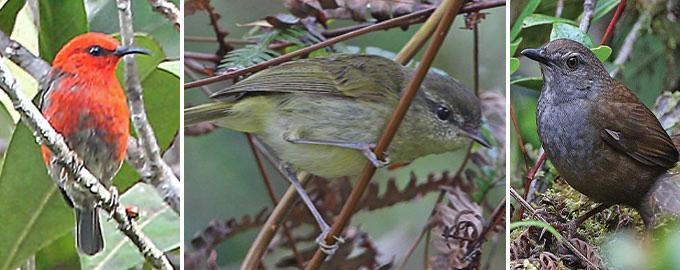 Indonesian songbirds