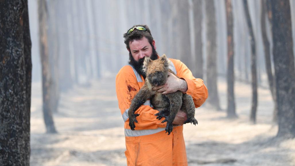 Rescuer with koala
