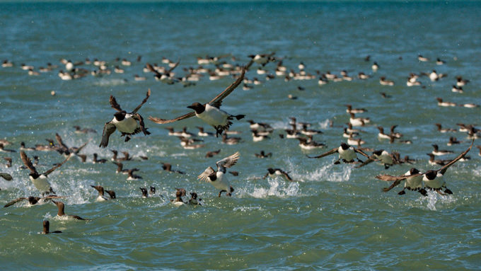 common murre seabirds