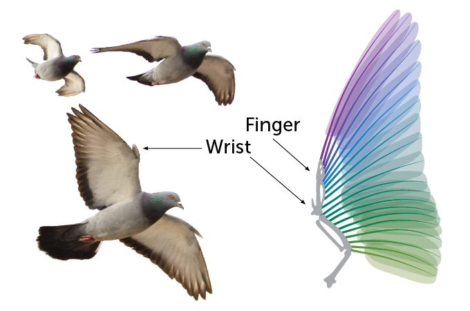 Pigeon wing diagram