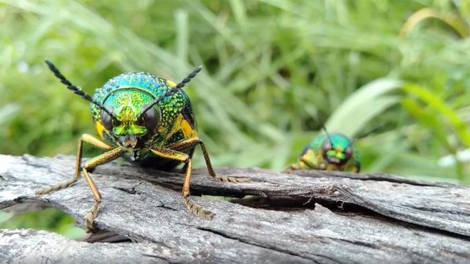 Asian jewel beetles