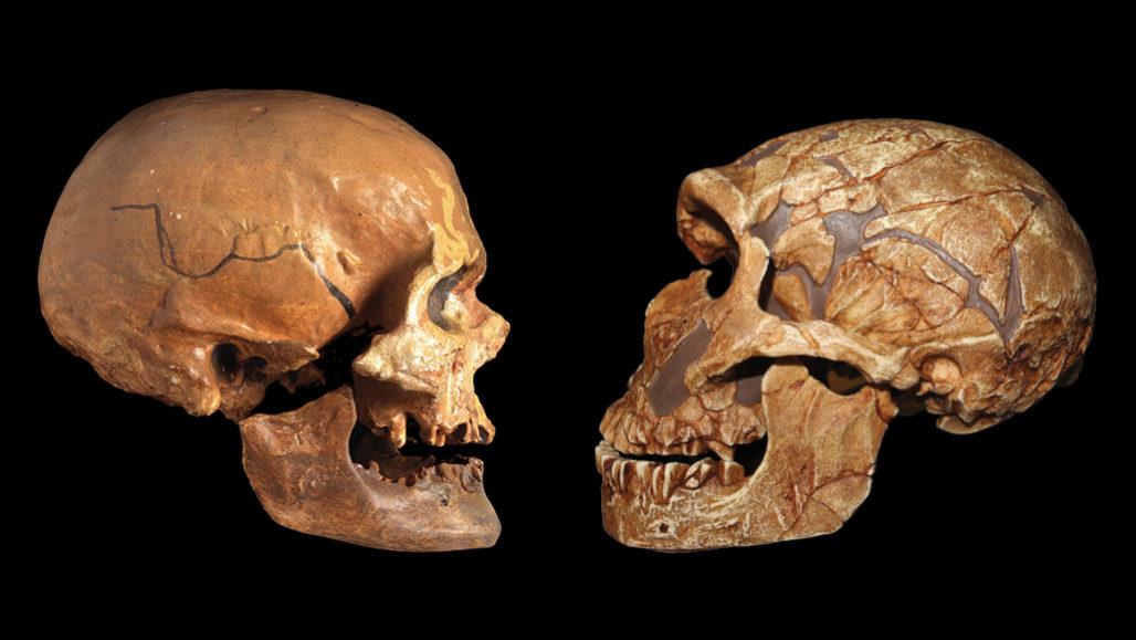 Homo sapiens and Neandertal skulls