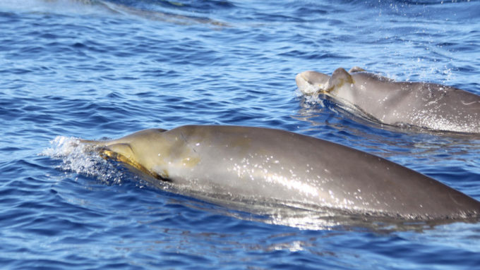 beaked whales at the water's surface