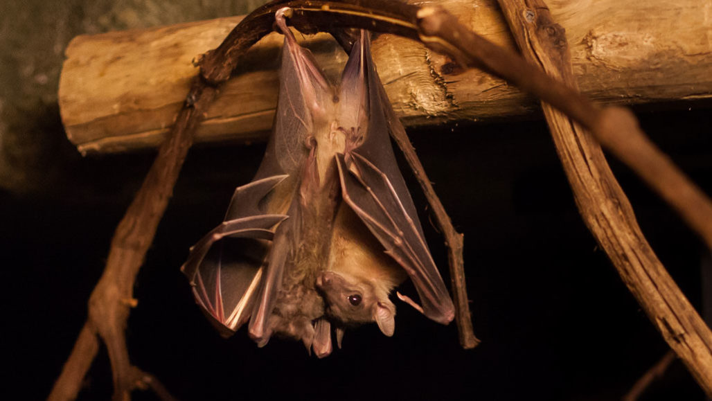 Egyptian fruit bat hanging upside down