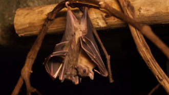 Egyptian fruit bat hanging upside down