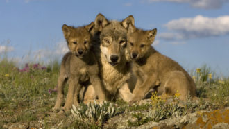 adult wolf and pups
