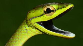 Cope's vine snake