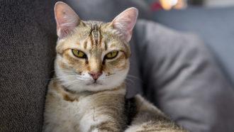 cat smizing