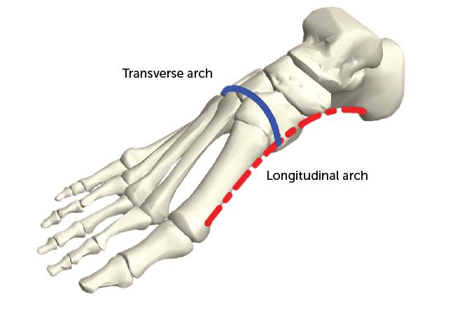 Foot bone diagram
