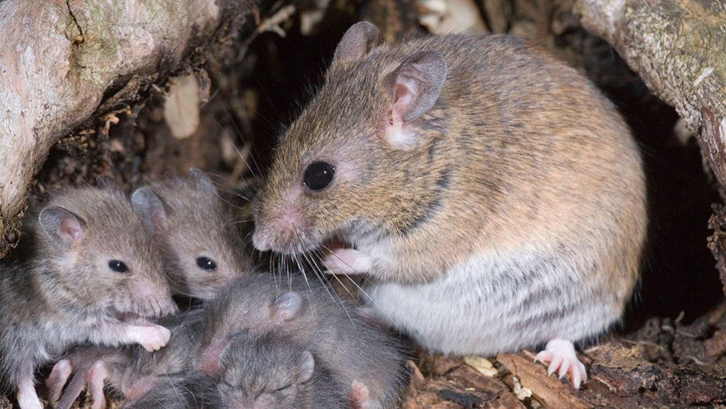 Multimammate rats