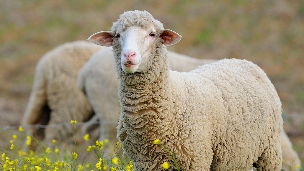 Brain Waves Common During Sleep Also Show Up In Awake Sheep Science News