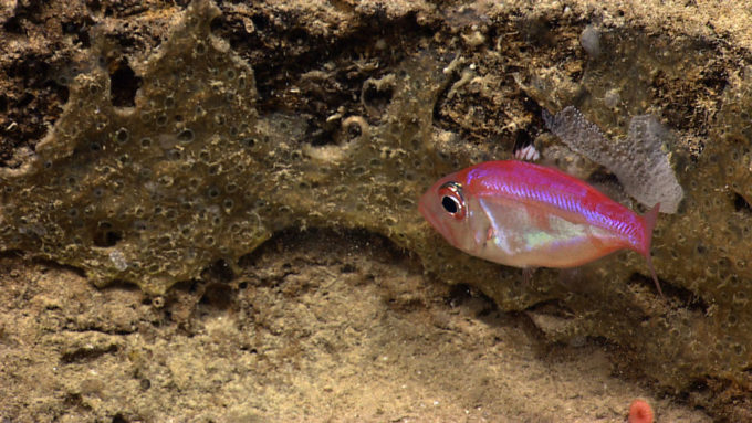 parazen fish