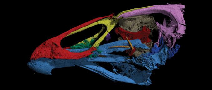 A. maastrichtensis skull model