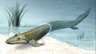 Tiktaalik roseae illustration