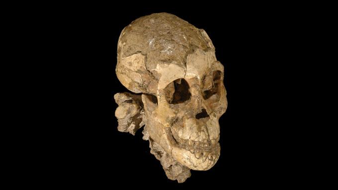 A. afarensis child's skull